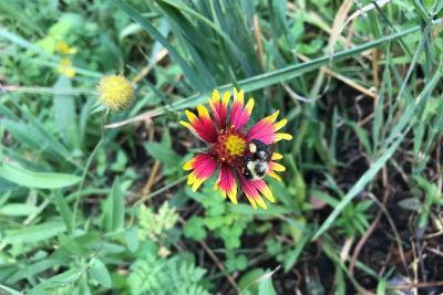 pollinator plant