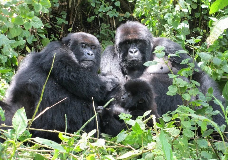 Here Is The Ultimate Experience Of Rwanda Mountain Gorilla