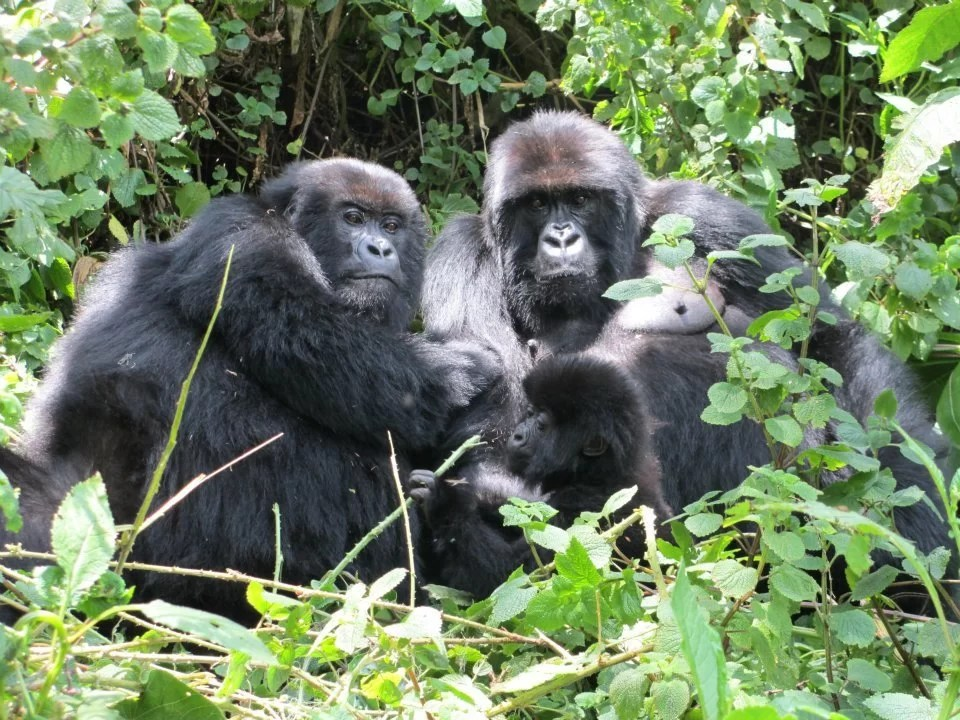 Rwanda Mountain Gorilla Trekking Experience – Detailed Travel Guide