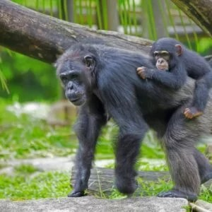 Chimpanzee with her child in the wild