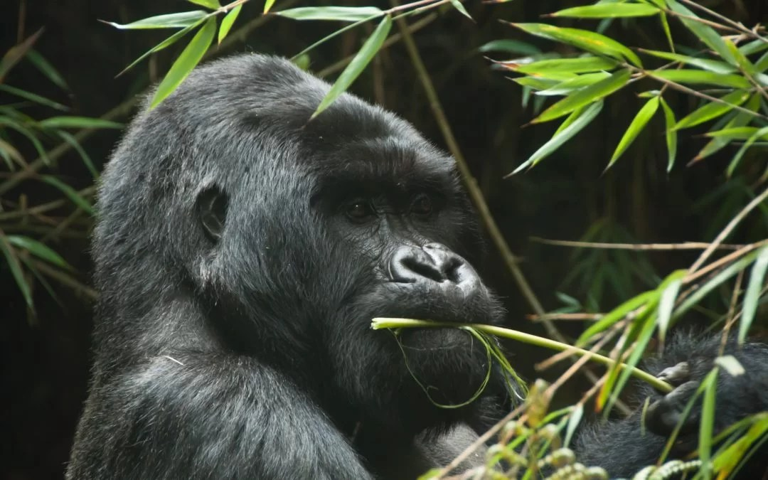 Here is How to Join Affordable Rwanda Gorilla Trekking
