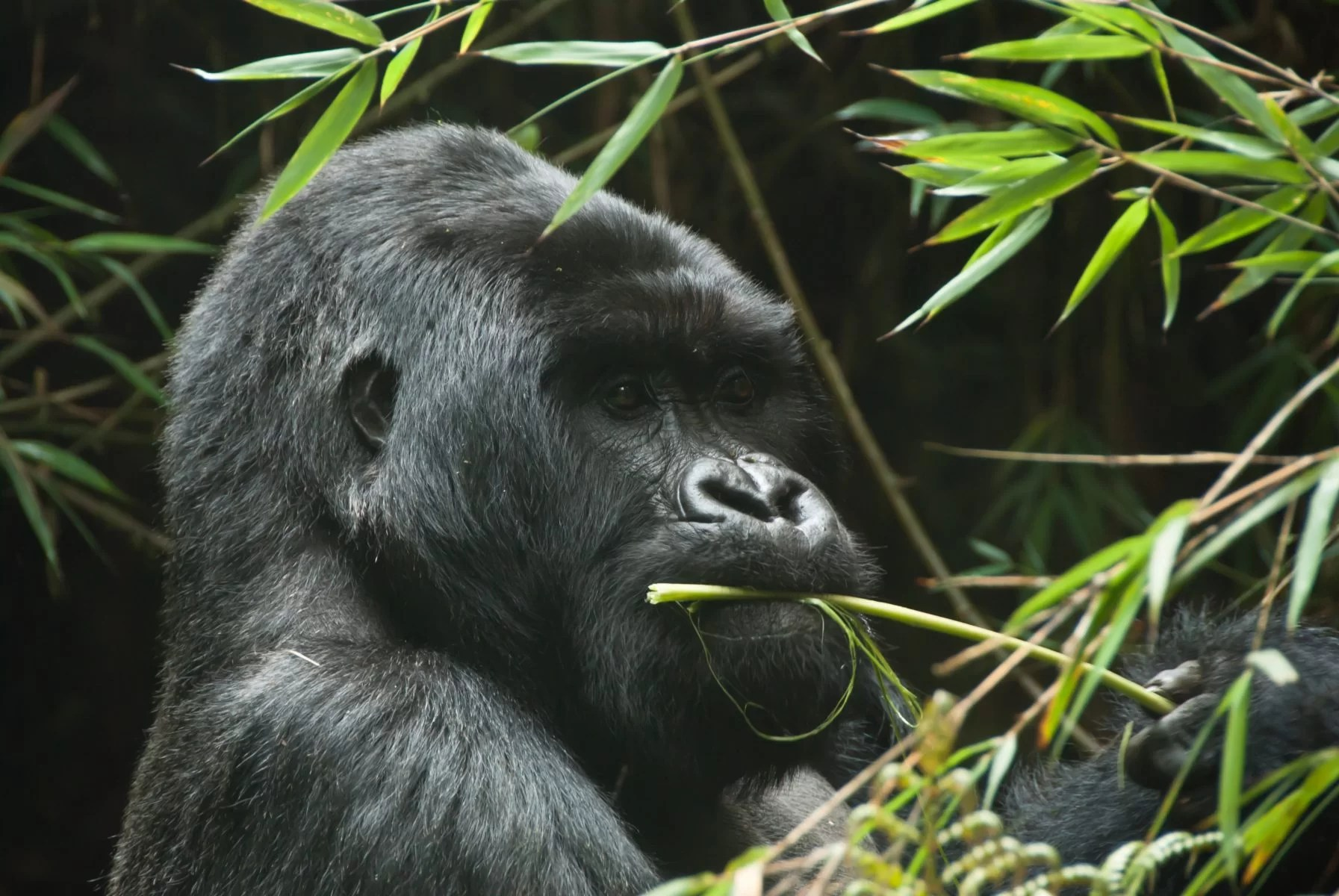 A Gorilla eating plants in the forest, Rwanda