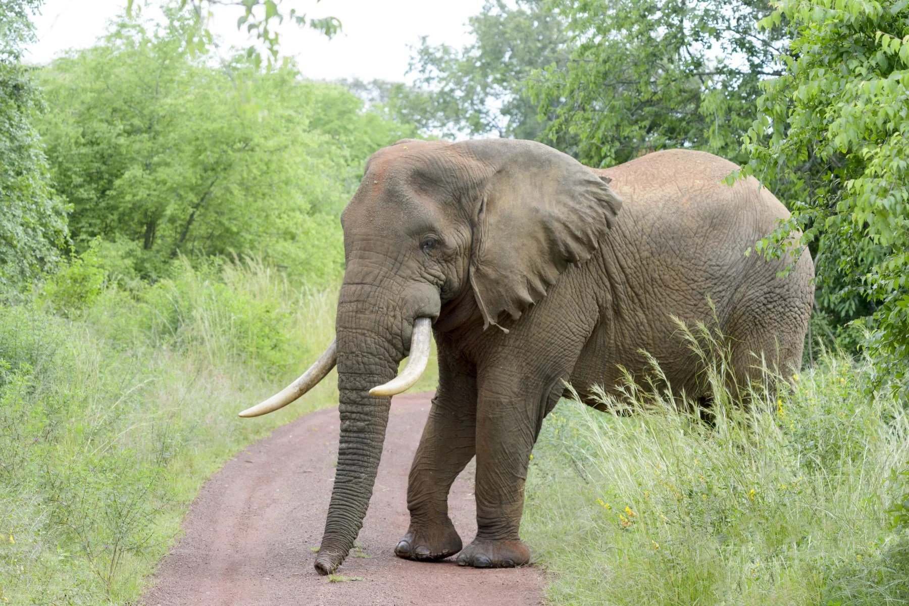 African Elephant-Akagera National Park