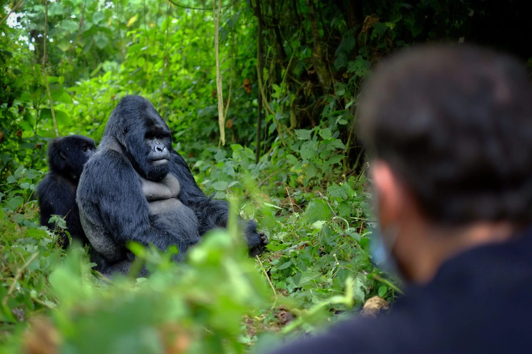 Encounter of tourist and mountain gorilla in African jungle.
