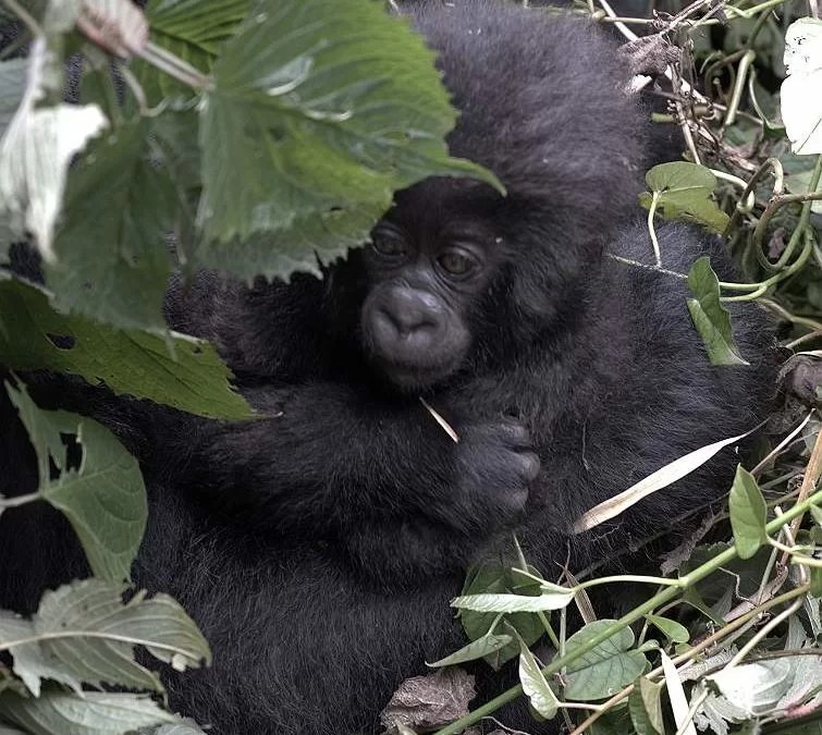 The Best of Rwanda Gorilla Trekking for Senior Travelers Now