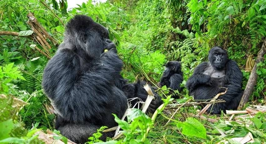 How to Visit Uganda​ Gorillas on Tailor-made Tours