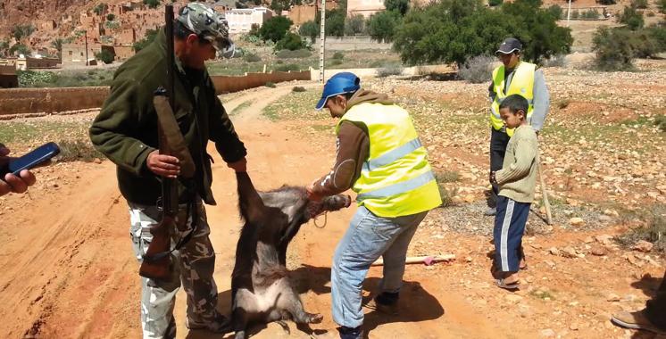 Souss-Massa : Le programme de régulation des effectifs du sanglier continue