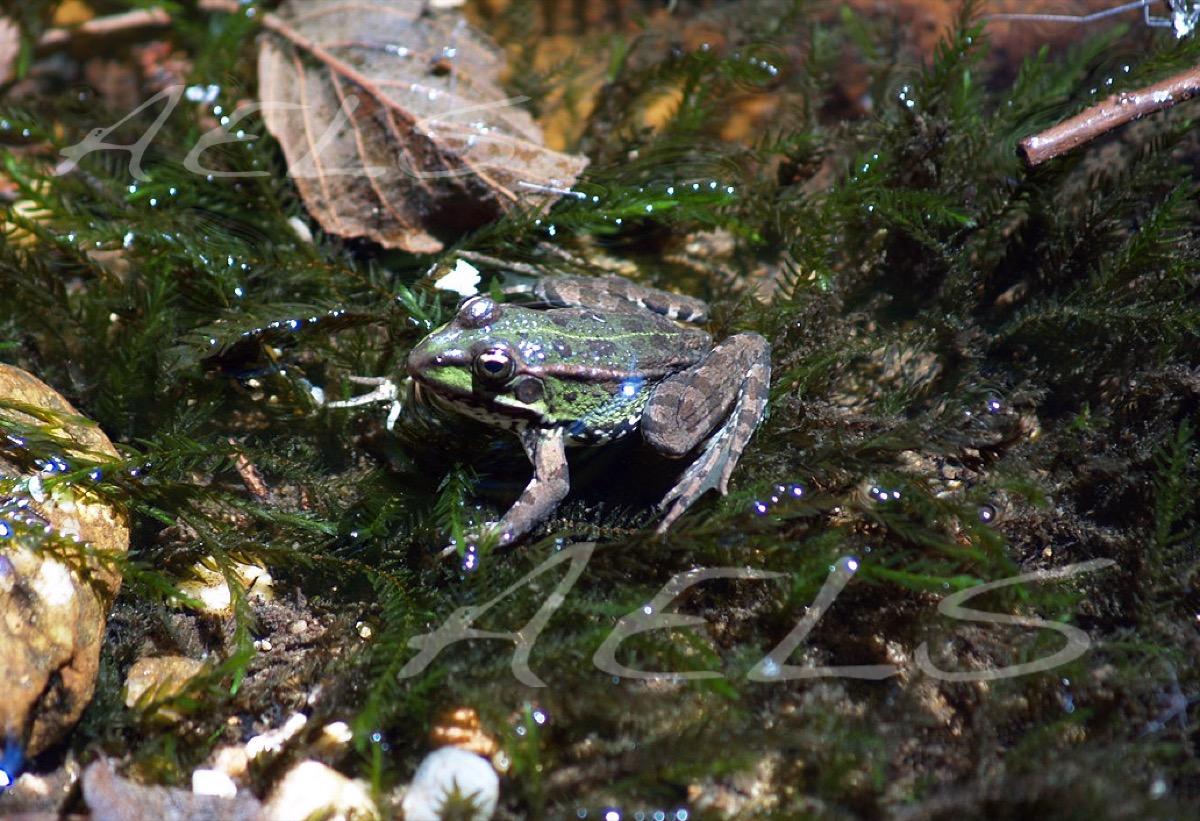 adulto de Rana verde común