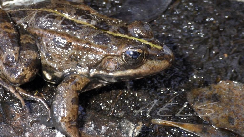 cabeza de rana verde