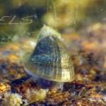 Ancylus fluviatilis