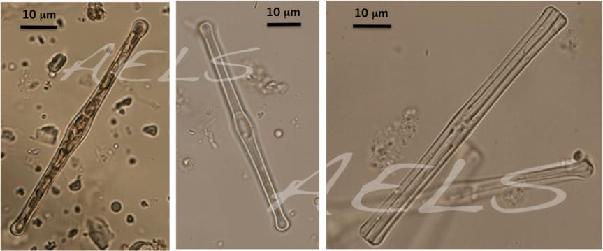 3 fotos Tabellaria