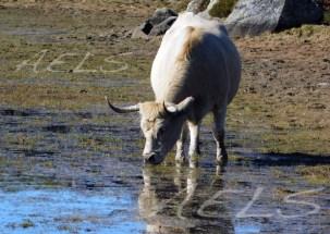 La escasez de agua en la Sierra lleva al ganado a permanecer en las orillas de las lagunas pastando.