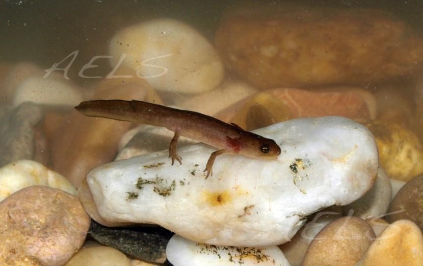 Larva de Lissotriton boscai (acuario)