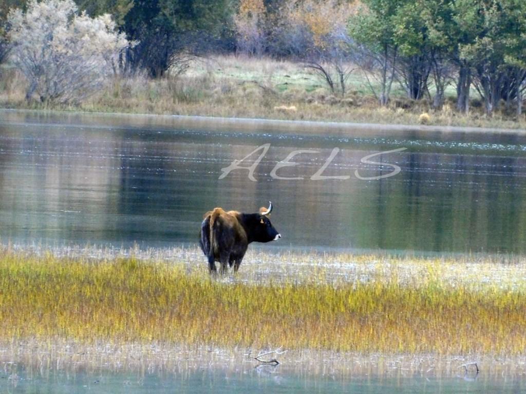 Vacas pastando dentro del lago