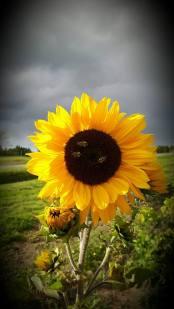 sunflower-_sep25_2016