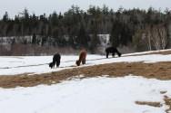 Three of the 4 alpacas
