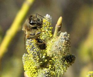 honeybee - Copy