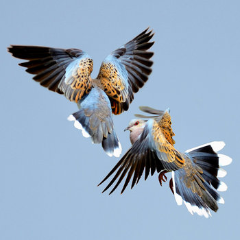 turtle-dove love