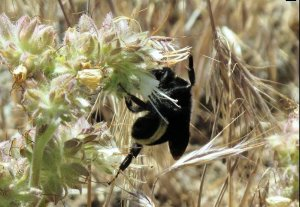 Bumblebees busy pollinating