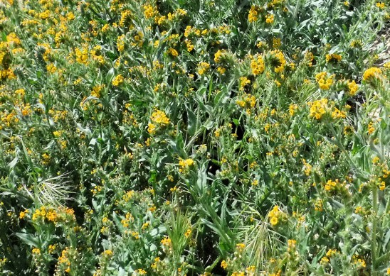 Fiddlenecks, aka Devil's lettuce