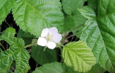 Soon this flower will be a wild raspberry
