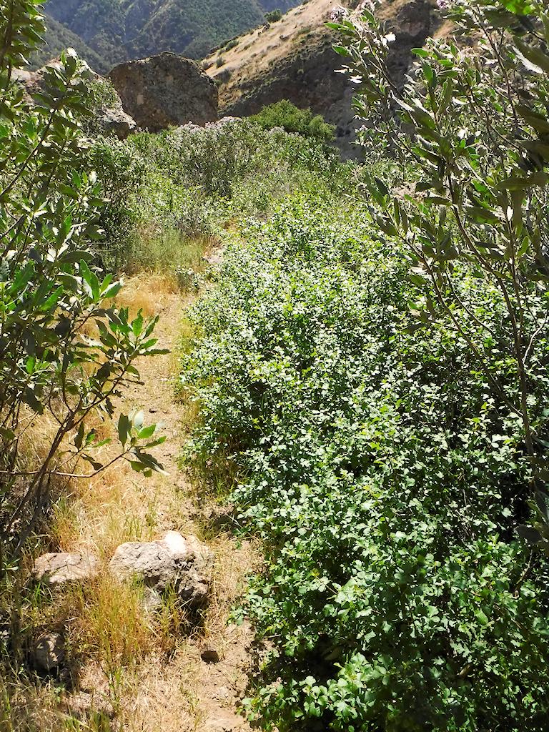 Poison oak path