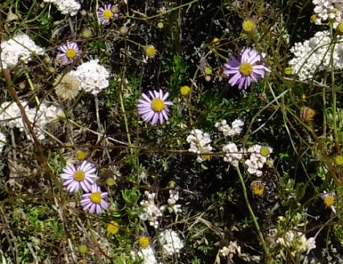 California Aster & maybe popcorn flower