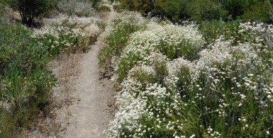 Buckwheat lines the trail