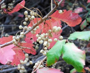 Poinson oak berries. Do not eat!
