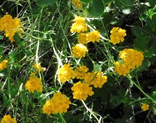 Yelow yarrow... I think