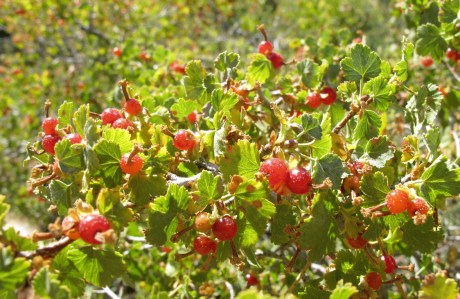 Goose berries