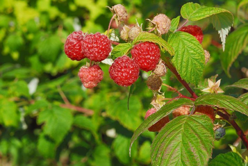123743-847x567r2-red-raspberry