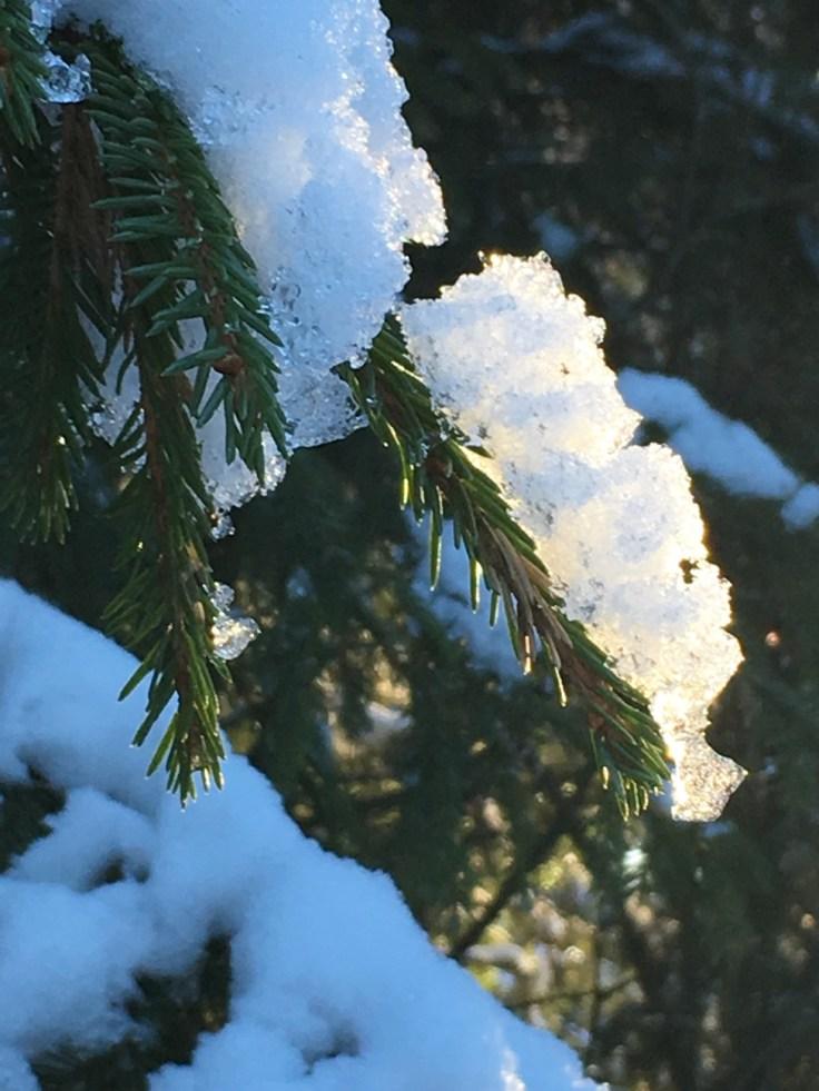 Kuusi, kuusikko, metsä, Suomen luonto, retkeily, kansallispuisto, luontoon.fi, Teijon kansallispuisto