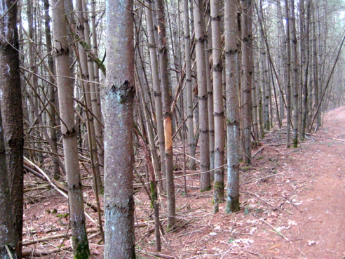 tangled pine woods