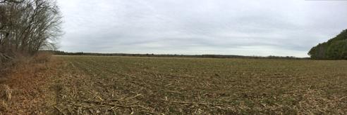 cornfield panorama (click to embiggen)