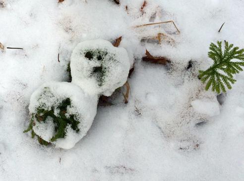 snowy princess pine