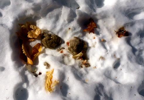 unwary mourning dove