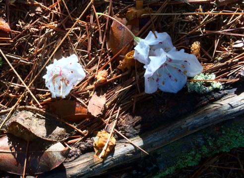 fallen laurel blossoms