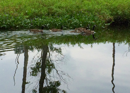 geese on the shunock river