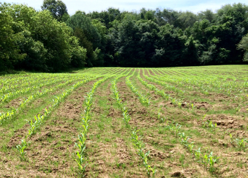 corn is up
