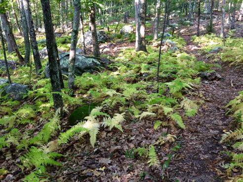 bracken ferns turning