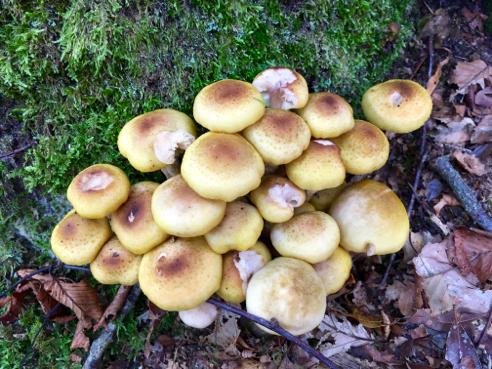 Possible Honey Mushrooms