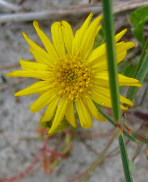 DYC Wildflower