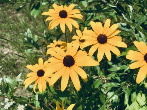 Rudbeckia, or Black-Eyed Susans