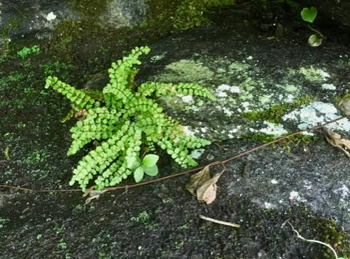 Rock Fern, Polypodium virginianum