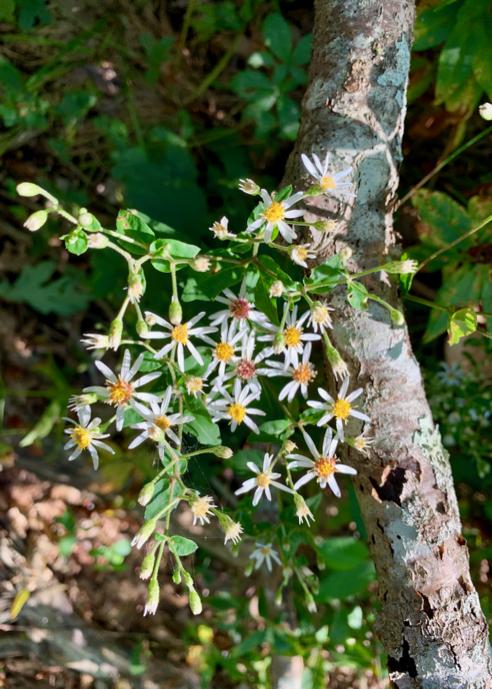 White Wood Aster, Eurybia divaricata