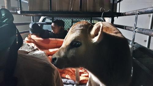 Langbaken 'cow boy' and schoolchildren