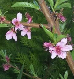 peach tree blossoms [ 4288 x 3216 Pixel ]