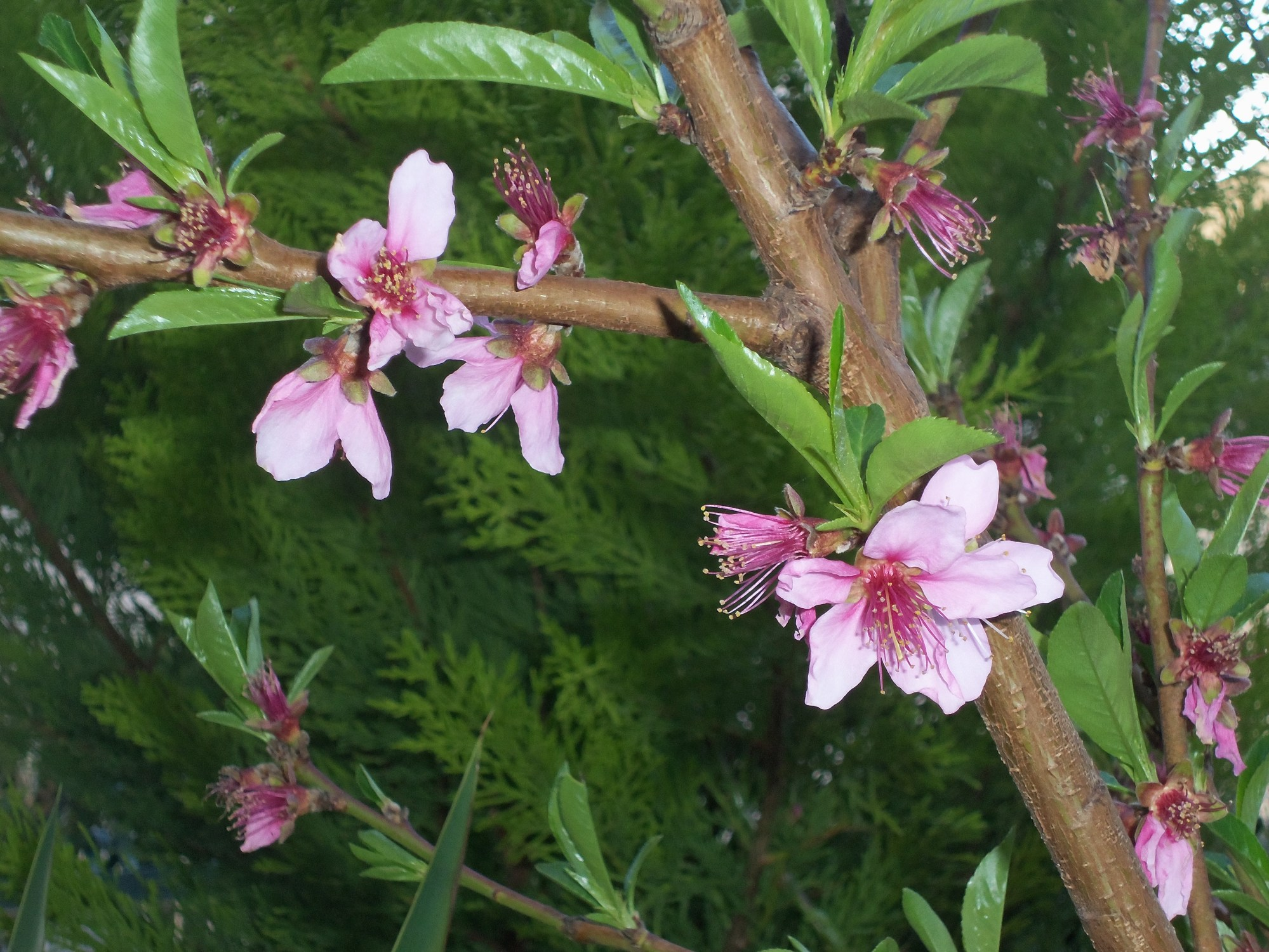 hight resolution of peach tree blossoms
