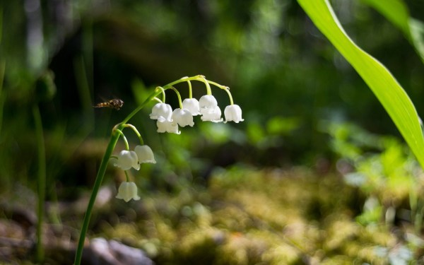 lily of valley auntie dogma's